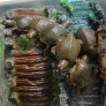 卵から孵化した赤ちゃんスッポン7匹の甲羅とお腹の物理的特徴